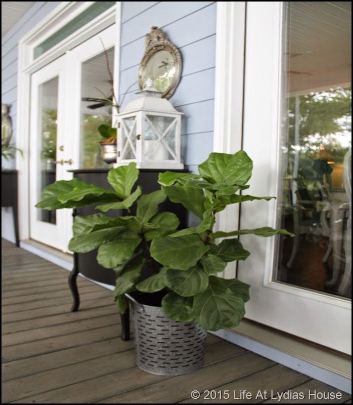 fig tree on porch in summer a