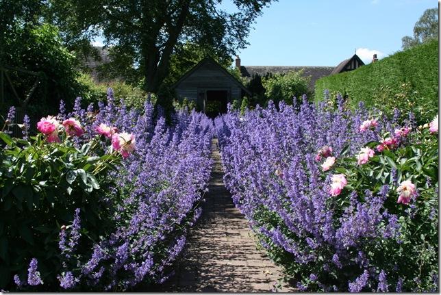 Peony and nepeta - rose garden