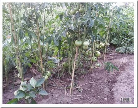 Tomateiros e pimenteiros