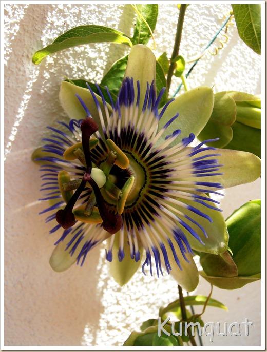 passiflora 4