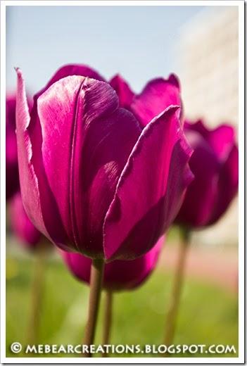 Tulip002