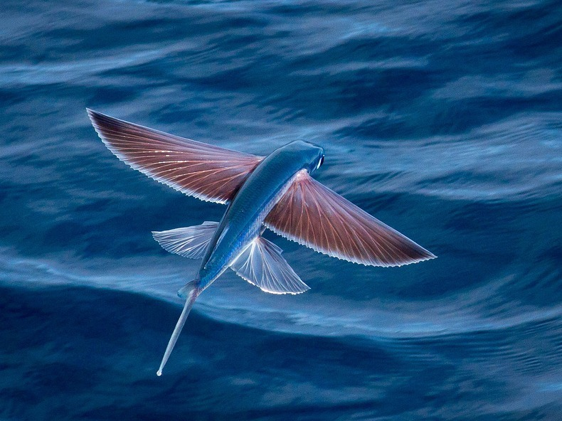 flying-fish-4