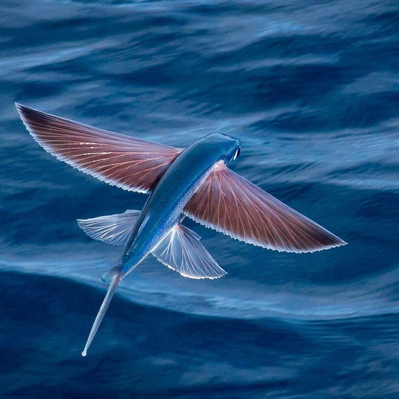 Exocoetidae: The Fish That Flies