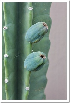 110907_cereus_hildmannianus_fruit
