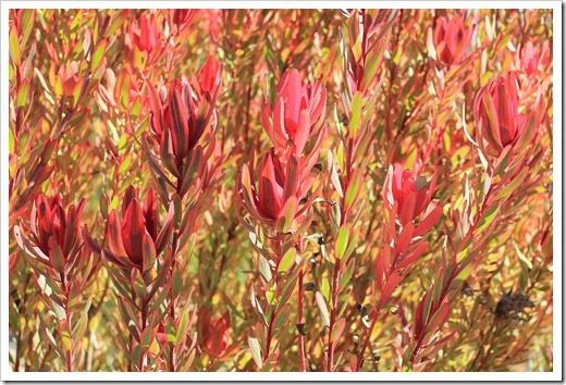 121027_UCSCArboretum_Leucadendron-Safari-Sunshine_09