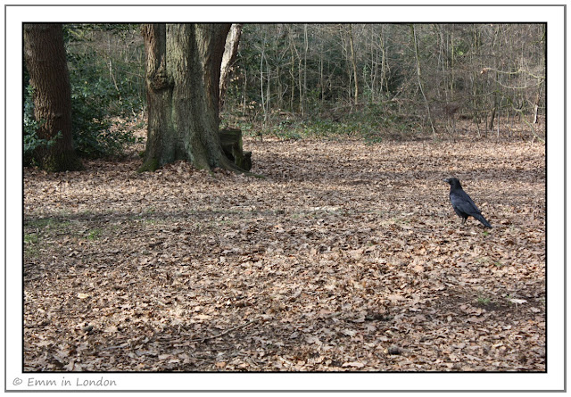 Crow in Highgate Wood