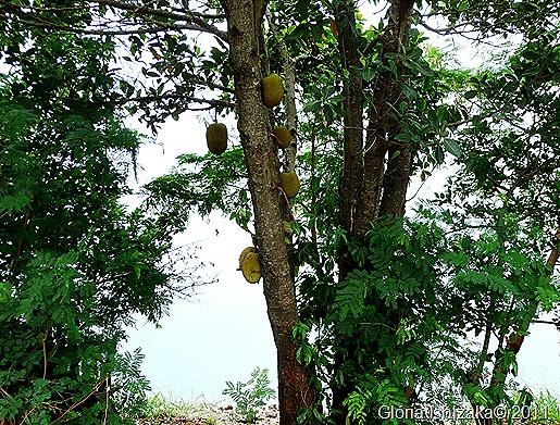 Glória Ishizaka - Guaiçara - jaqueira