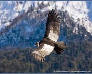 Amazing Pictures of Animals, Photo, Nature, Incredibel, Funny, Zoo, Andean Condor, Vultur gryphus, bird, Alex (17)