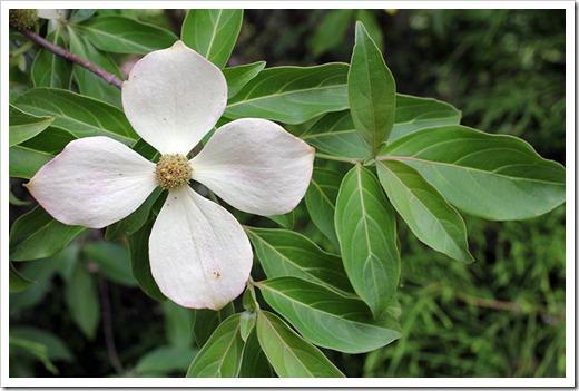 110712_dogwood_blossom