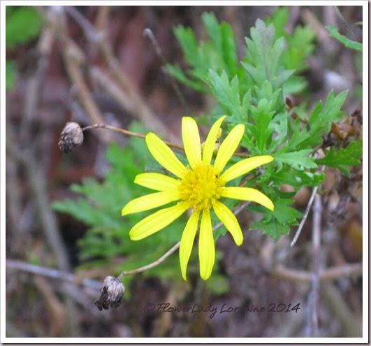01-29-bush-daisy