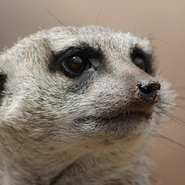 Even Animals Day Dream by Rebekah Doar - Animals Other Mammals ( dream, meerkat, cute, dirt, nose, eyes )