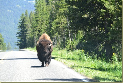 Bison on Road-2