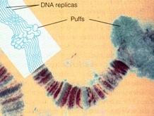 chromosome puffs or Balbiani rings