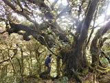 The large tree at the southern, lower peak of Tondongkarambu (Dan Quinn, October 2013)