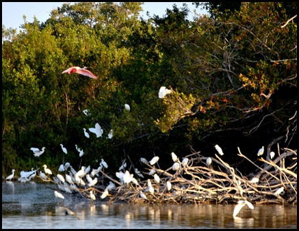 01b - Early Morning Eco Pond - Roseate Spoonbill flying away