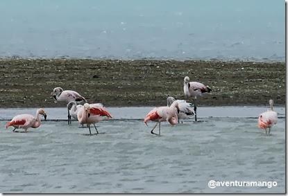 Flamingos (Phoenicopterus chilensis)