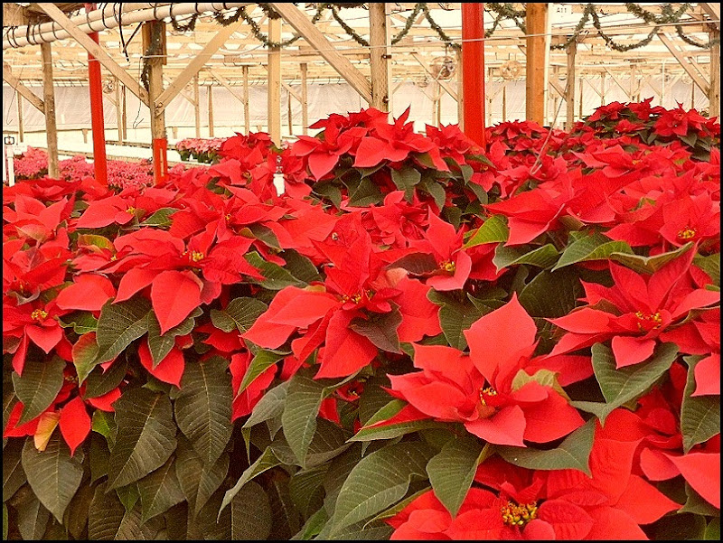 poinsettia farm2011 019 (800x600)
