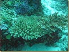 Thin Coral