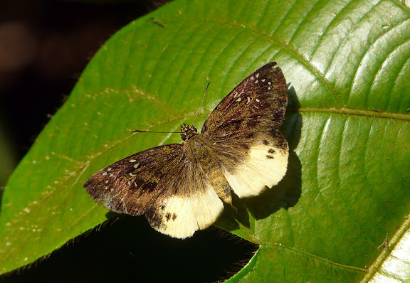 Hesperiidae : probablement Ceratrichia nothus FABRICIUS, 1787. Bobiri Forest (Ghana), 16 décembre 2009. Photo : J. F. Christensen