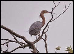 00d - Animals - Reddish Egret