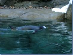 0107 Alberta Calgary - Calgary Zoo Penguin Plunge - Rockhopper penguin