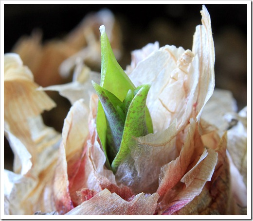 120921_Veltheimia-capensis_02