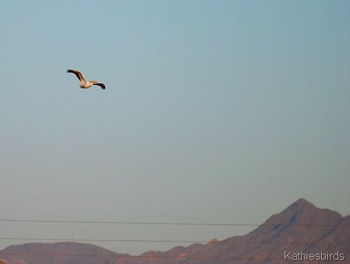 1. pelican-kab