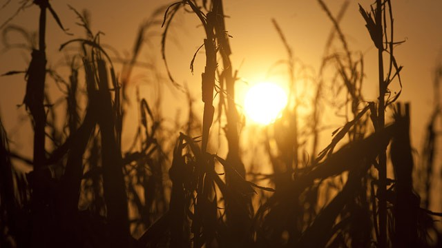 Severely damaged corn stalks due to a widespread drought are seen at sunset on a farm near Oakland City, Indiana, 15 August 2012. SAUL LOEB / AFP / GettyImages