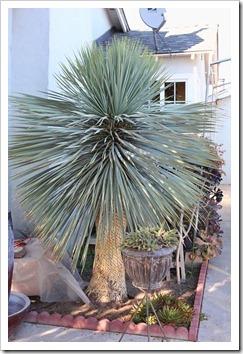 111119_Poots_Yucca-rostrata_002