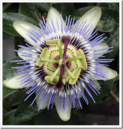 110712_Passiflora-cerulea_03