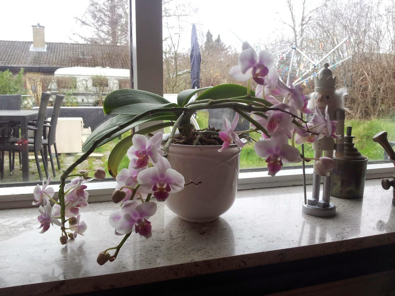 orkide pasning