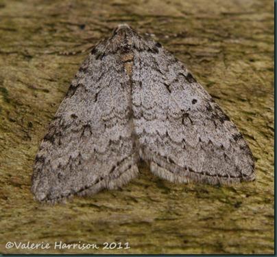 November-Moth