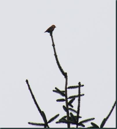 7-crossbill