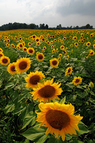 sunflowers-bowing to clouds.jpg