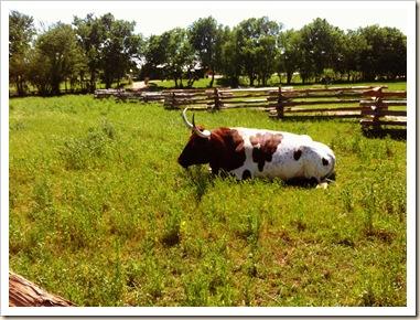 livestock judging 103