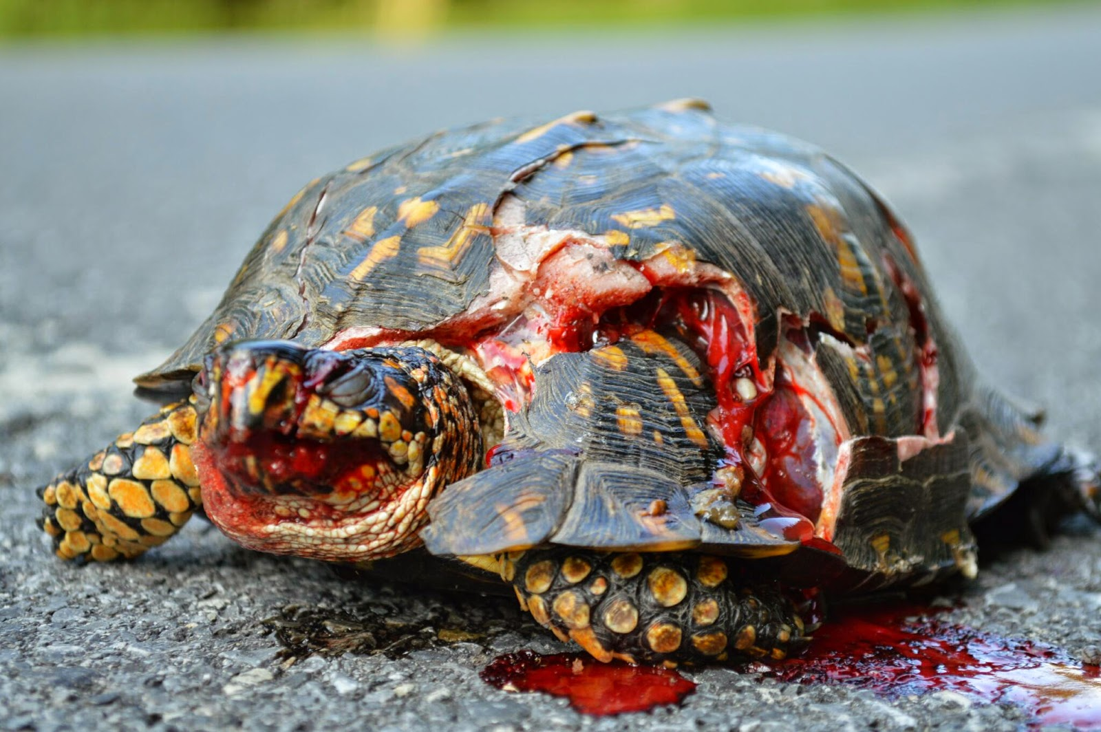 Turtle Born Without Shell Turtle Shell gt Bicycle Helmet