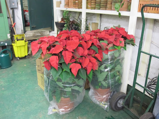 You may not be able to tell from this photo, but these red poinsettia plants are massive!