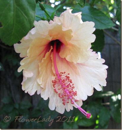 06-20-hibiscus