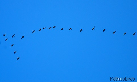 13. cormorants-kab