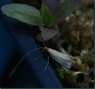 Nematopogon-swammerdamella
