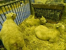 2015.02.26-020 mouton avranchin