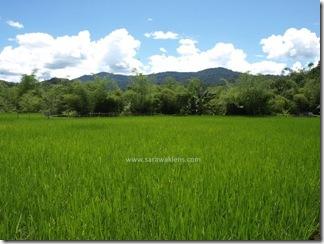 Bakalalan_rice_field_sawah_padi_1