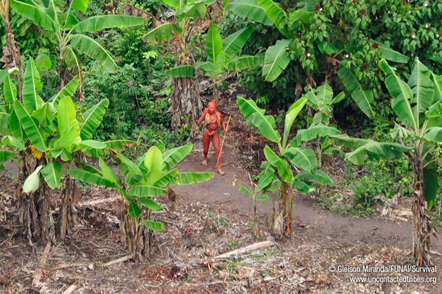 Aerial view of a member of an uncontacted tribe in the Brazilian Amazon, January 2011. This man, painted with annatto seed dye, is in the community's garden, surrounded by banana plants and annatto trees. © Gleison Miranda / FUNAI / Survival