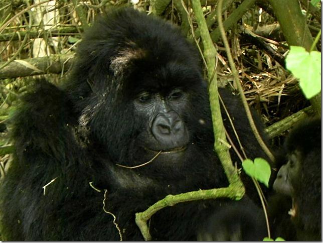 Rwanda_Gorillas (13)