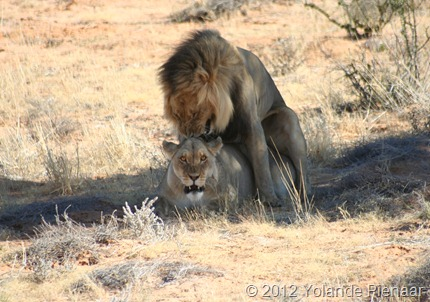 Lions Mating on Nossob-Mabuasehube Road