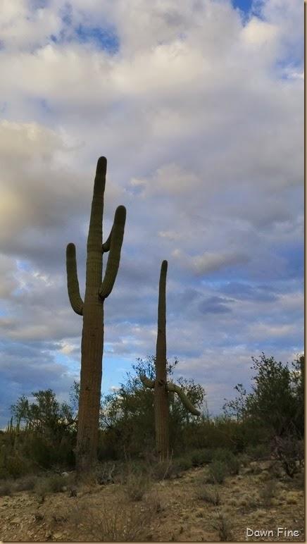 Saguaro NP West_066