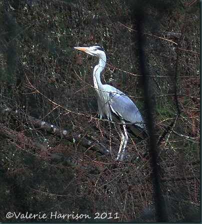 17-heron-in-tree