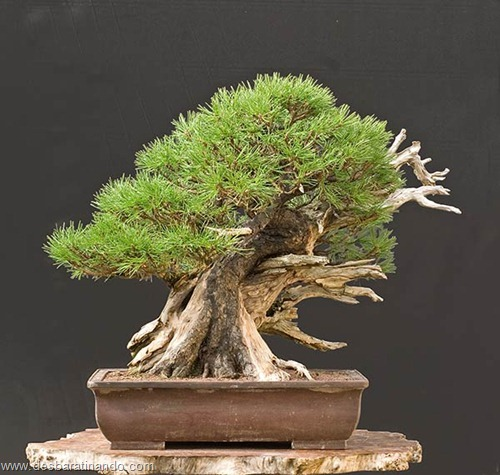 bonsais arvores em miniatura desbaratinando (89)