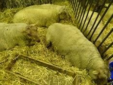 2015.02.26-021 mouton Roussin