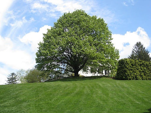 The elegant silhouette of this mature linden tree is especially dramatic viewed from the bottom of the hill.